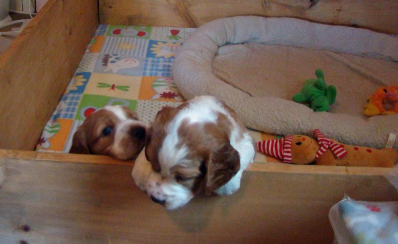 Welsh Springer spaniel puppies Ivywild