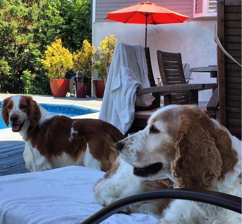 Ivywild Welsh Springer Spaniels - Home